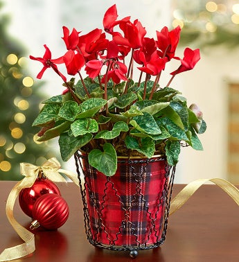 Tartan Plaid Cyclamen