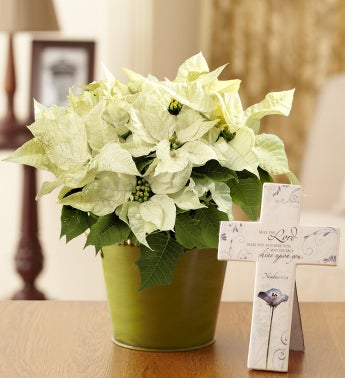 Winter White Poinsettia for Sympathy