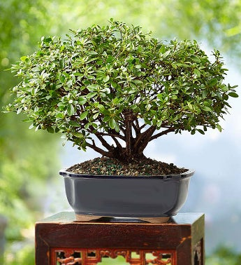 Azalea Bonsai 8-Year Specimen