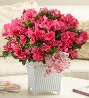Precious Pink Azalea