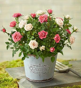 Summer Garden Rose