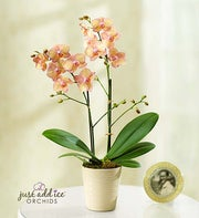 Artistic Splendor Orchid