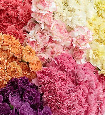 Assorted Carnations, 200 Stems