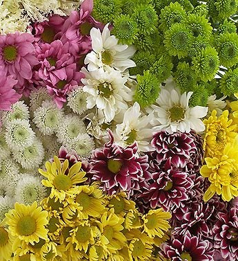 Assorted Poms, 120 - 240 Stems