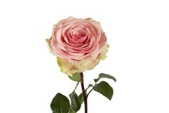 Geraldine Roses- Special Order!