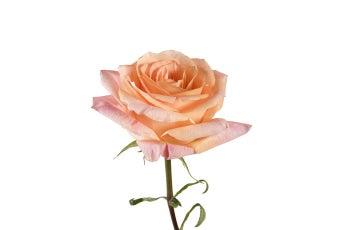 Pina Colada Roses- Special Order!