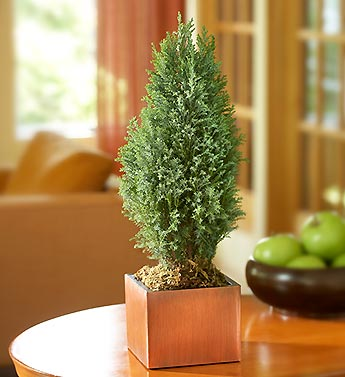 cypress tree in cube copper planter