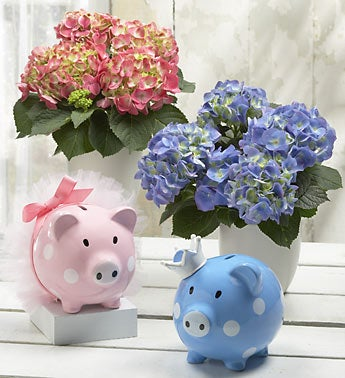 hydrangea plant for baby with piggy bank
