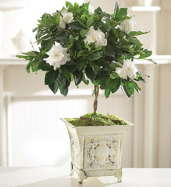 gardenia plant in white washed footed planter