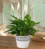 Peaceful Peace Plant
