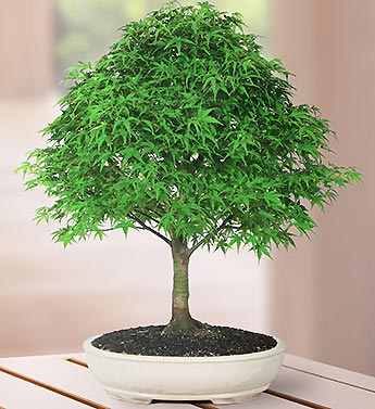 Japanese Maple 15 Year Specimen Bonsai