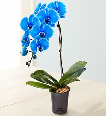 Baby Blue Orchid