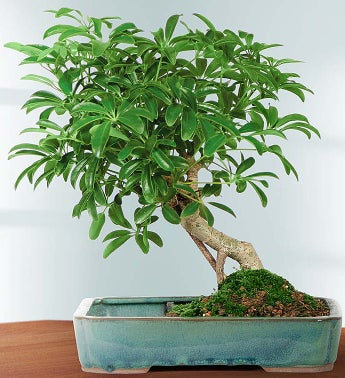 Hawaiian Umbrella Tree Bonsai