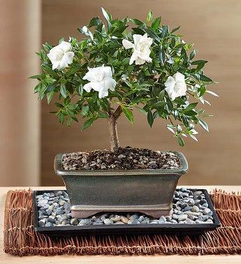 Comforting Gardenia Bonsai