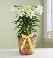 Easter Sentiments? Lily Plant