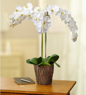 Silk White Phalaenopsis Orchid