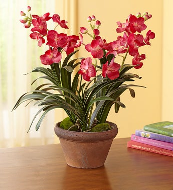 Pink Silk Vanda Orchid Plant